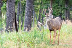 Young Mule Deer Buck Royalty Free Stock Photo