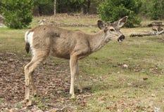 Young Mule Deer Buck Stock Images