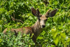 Young Mule Deer Buck in the Leafy Greens. Image of a young Mule Deer buck, with felt still on his antlers, and eating him some greens. Liked how he was not shy Stock Image