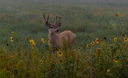 A Young Mule Deer Buck Among Sunflowers stock images