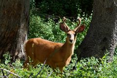 Young Mule Deer Buck (odocoileus hemionus) Stock Images