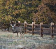 Young Mule Deer Buck Poses for a Portrait royalty free stock image