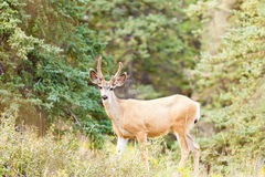 Young mule deer buck with velvet antlers in taiga. Young mule deer buck Odocoileus hemionus with velvet antlers in the wild of boreal forest taiga of the Yukon stock photo