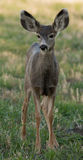 Young mule deer Royalty Free Stock Image