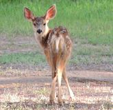 Young Mule Deer Fawn Stock Photography