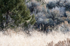 A young mule deer hidden Stock Photography