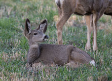 Young mule deer laying on the ground Royalty Free Stock Photography
