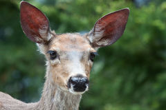 Young Mule Deer. This young mule deer looks right into the camera on the side of the road in the Olympic National Park Stock Image