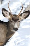 Young Mule Deer with new antlers Stock Photography