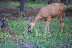 A young mule deer Odocoileus hemionus grazes on green grass and flowers. A young mule deer Odocoileus hemionus grazes on green grass and flowers in Grand Teton stock photos