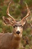 Young Mule Deer Portrait. A portrait of a 3x4 Mule Deer buck in Colorado Stock Photos