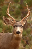 Young Mule Deer Portrait Stock Photos
