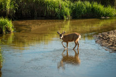 Young Mule Deer. Young three point mule deer wading through a shallow stream Royalty Free Stock Images