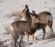 Young mule deer together Royalty Free Stock Image