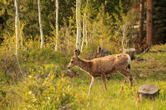 Young Mule Deer. Stock Photo