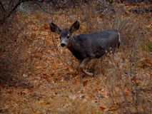 A Young Mule Deer in a Winter Forest. A young mule deer running in a winter forest in Sedona, Arizona stock photography