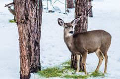 Young Mule Deer in Winter Stock Image