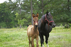 Young Mule with Mother. Mule Colt with black mare. Country scene stock photos