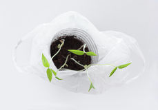 Young mung bean sprouts in white plastic bag Royalty Free Stock Photography