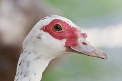 Young Muscovy Duck Stock Images