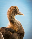 Young Muscovy Duck Stock Image