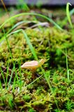 Young mushroom Stock Image