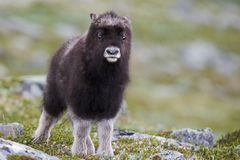 Young muskox stock photography