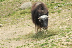 Young muskox Stock Image