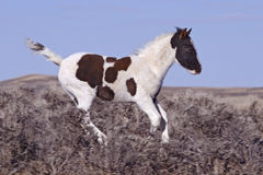 Young Mustang Foal. Newborn colt is running and kicking in the sage brush stock photos