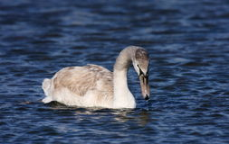 Young mute swan. (cygnus olor) swimming on blue water Stock Photos