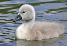 Young Mute Swan Chick Royalty Free Stock Photography