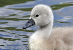 Young Mute Swan Chick Royalty Free Stock Photo