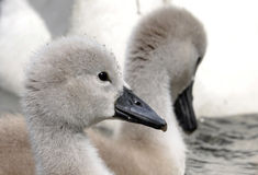 Young Mute Swan Chick Royalty Free Stock Image