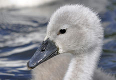 Young Mute Swan Chick Stock Photos