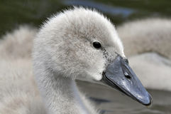 Young Mute Swan Chick Stock Photo