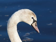 Young mute swan - Cygnus olor Royalty Free Stock Images