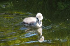 Young Mute swan, Cygnus olor swimming on a lake royalty free stock photography