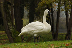 Young mute swan (Cygnus olor) Royalty Free Stock Photos