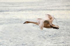 Young mute swan flying on the river stock images