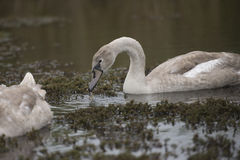 Young Mute Swan Stock Images