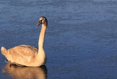 Young mute swan on the ice Royalty Free Stock Image