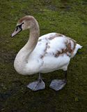 Young mute swan. In park Royalty Free Stock Images