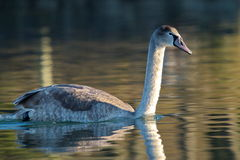 Young mute swan on water Royalty Free Stock Photo