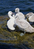 Young mute swans are kissing on the rock in the water Royalty Free Stock Photo