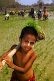 Young Myanmar farmer working in ricefield. Stock Photography
