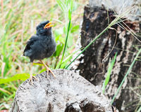 Young myna bird Royalty Free Stock Photos