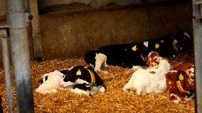 Young myna cows lie - relax on hay stock video