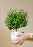 Young myrtle a potted plant Stock Photo