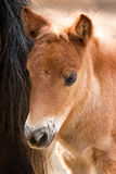 Young nag horse Royalty Free Stock Images