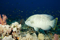 Young Napoleon fish underwater Stock Images